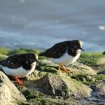 Zwei Meeresvögel am Südstrand.