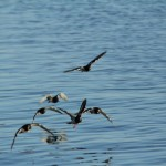 Meeresvögel fliegen über das Wasser.