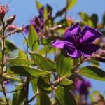 Australien Vegetation 01 - Baum Blüte lila violett - IMG_8569