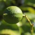 Australien Vegetation 02 - Grüne Zitrone am Baum - IMG_8770