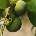 Australien Vegetation 04 - Grüne Kakis am Baum - IMG_8831