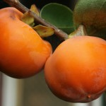 Australien Vegetation 05 - Orangene Kakis am Baum - IMG_0403