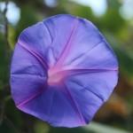 Australien Vegetation 06 - Blaue Blume - IMG_8599