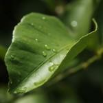 Australien Vegetation 07 - Wasser auf Blatt nach Sommerregen - IMG_8826