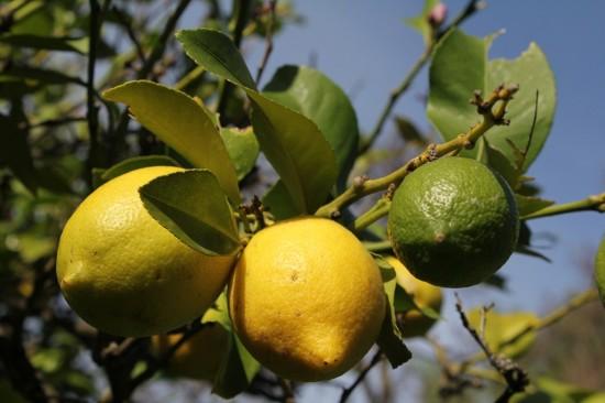 Australien - Zitronen am Zitronenbaum im Garten