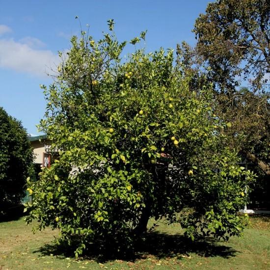 Australien - Zitronenbaum im Garten