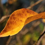 Herbst in Melbourne 19 - Gelbbraunes Herbstblatt - IMG_1604