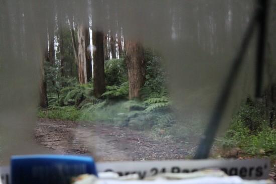 Toolangi State Forest - Baumfarne aus dem Busfenster - IMG_1642