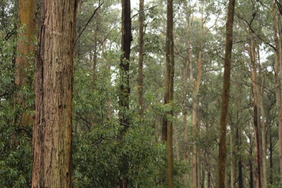 Toolangi State Forest - Blick vom Discovery Centre - IMG_1624