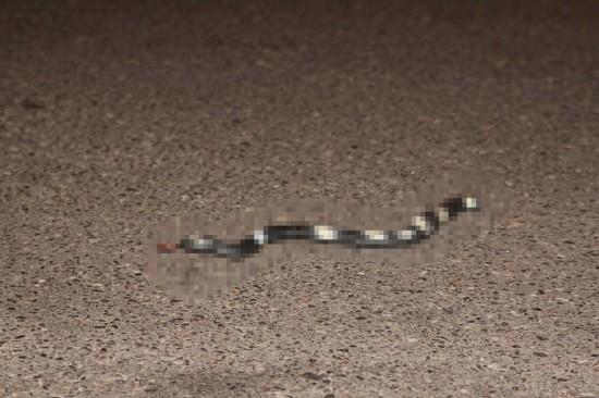 Melbourne - Überfahrene Schlange auf der Straße - zensiert - IMG_1707-5