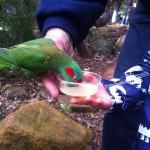 Australian Wildlife - Healesville Sanctuary 02 - Vogel landet auf der Hand - IMG_0767