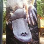 Australian Wildlife - Healesville Sanctuary 04 - Schnabeltier - IMG_0769
