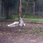 Australian Wildlife - Healesville Sanctuary 05 - Faulenzendes Känguru - IMG_0771