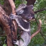 Australian Wildlife - Healesville Sanctuary 06 - Süßer Koala im Baum - IMG_0780