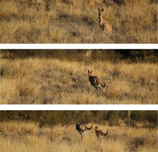 Alice Springs - Känguru Collage - IMG_4295 4198 4202
