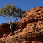 Outback 06 - Baum in exponierter Lage - Kings Canyon Rim Walk - IMG_5222