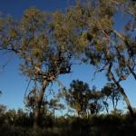 Outback - Bäume am Uluru Ayers Rock - IMG_4773