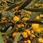 Outback - Golden Wattle - IMG_5000