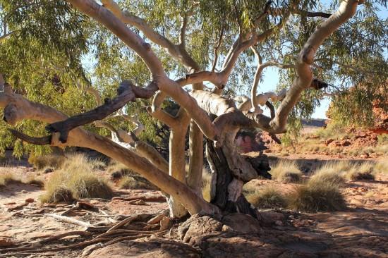 Outback - Widow Maker Eucalypt - Witwenmacher Eukalyptus - IMG_5213