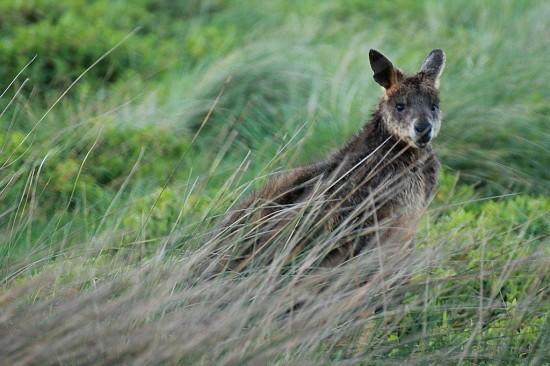 Phillip Island Kangaroo - Känguru auf der Wiese - IMG_5907-3