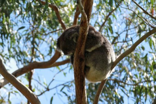 Phillip Island - Koala Reservation Centre - IMG_5801