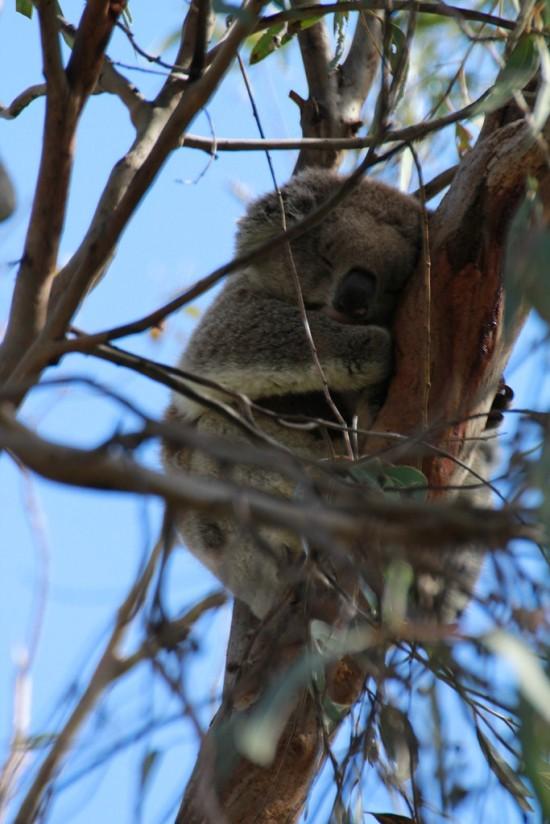 Phillip Island - Koala Reservation Centre - IMG_5808