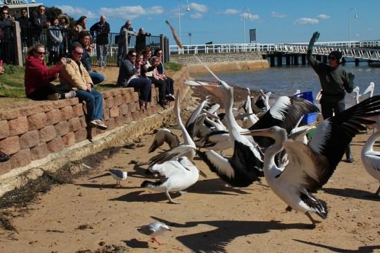Phillip Island - Pelikan Fütterung San Remo - IMG_5698