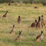 Perth - Kangaroos in Suburbia - IMG_6307-2
