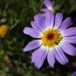 WA Blumen 04 - lila violett - IMG_6339
