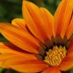 WA Blumen 07 - orange - IMG_6477