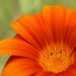 WA Blumen 13 - orange - IMG_6492